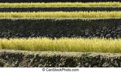 Terraced rice field - Harvest season of terraced rice field...
