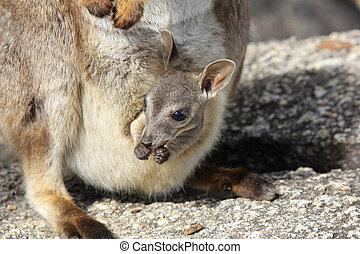 Mareeba Rock wallabies or Petrogale Mareeba - a rock wallaby...