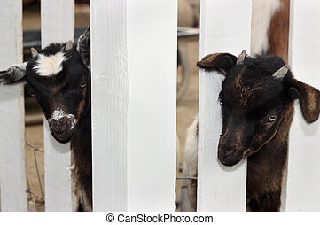 Two Young Goats - Two cute young goats behind white fence.