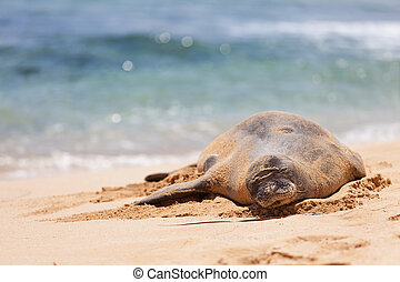 monk seal at kauai - endangered and protected (almost...