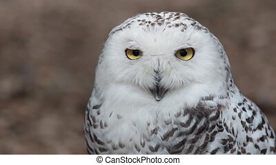 HD footage of a beautiful Snowy owl Bubo scandiacus in...
