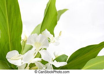 Ginger lily flower - White ginger lily flower in front of...