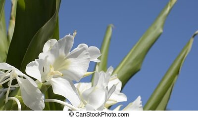 Ginger lily flower - White ginger lily flowers under blue...
