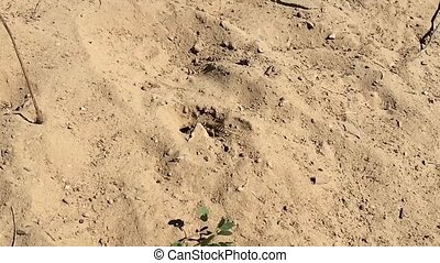 Small solitary wasp in the sand. - Small solitary wasp...