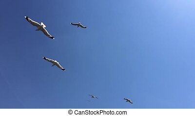 Swarm of sea gulls - swarm of sea gulls flying close ferry...