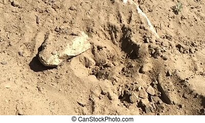 Small solitary wasp in the sand - Small solitary wasp...
