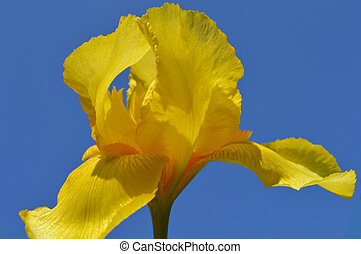 Iris flower - Yellow Iris flower - Close-up
