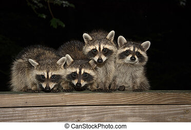 Four cute baby raccoons on a deck railing - Four cute baby...