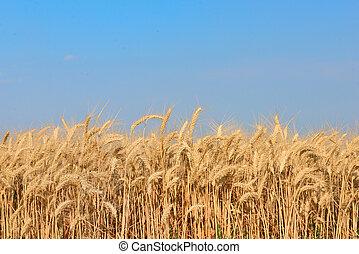 Golden Wheat field in summer time