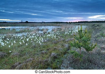 cotton grass on swamp, Kampina, Netherlands