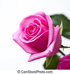 Rosebud closeup. Pink flowers on a white background