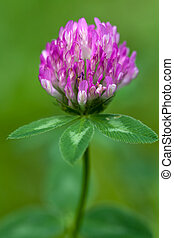 Purple clover flowerhead on a green background, shallow...