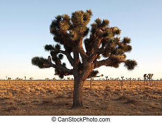 The Joshua Tree - Giant, old Joshua Tree in a California\'s...