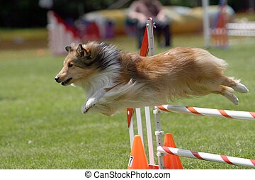 Sheltie jumping - Sheltie takes a jump during a dog agility...