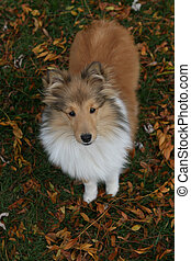 Sheltie puppy - Shetland Sheepdog pup in the fall leaves