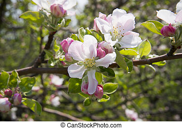 Apple blossom close-up spring. Background of beautiful...