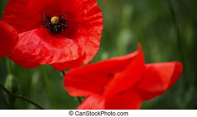 Wild Red Poppy Flower in the Field - Bumblebee and Wild Red...