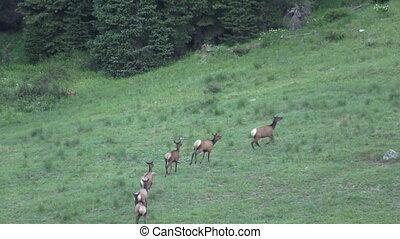 Cow Elk Running