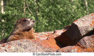 Yellow-bellied Marmot - a yellow bellied marmot on a rock