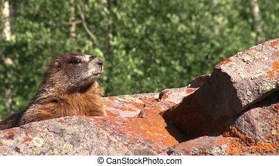 Yellow-bellied Marmot - a yellow bellied marmot on a rock
