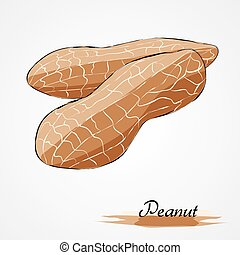 Peanut - Hand drawn vector ripe peanut on light background