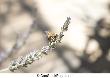 Lavendar herb bush honey bee sucking nectar growing in...