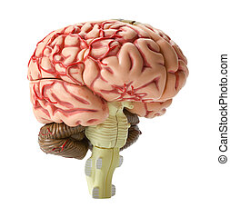 Brain Model - Human Brain Model Side View Isolated on White...