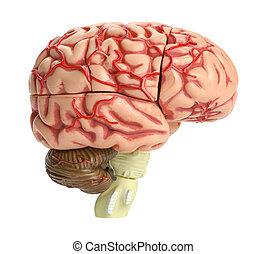cerebro,