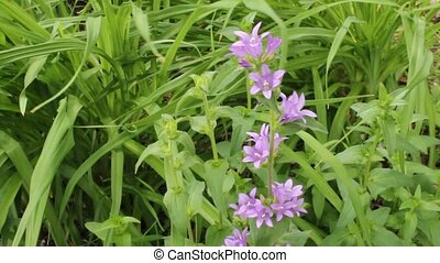 Campanula flowers - A stalk of Campanula flowers swaying in...