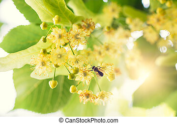 Blooming linden, lime tree in bloom with bees and sunflare