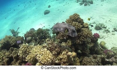 Starry Puffer on Coral Reef