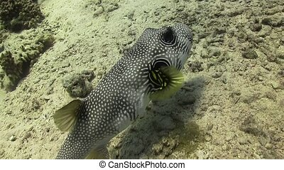 Starry Puffer on Coral Reef, Red sea