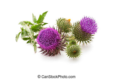 Milk Thistle plant (Silybum marianum) herbal remedy. Scotch...