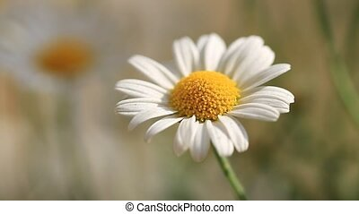 Camomile flowers Close-Up - Summer or spring beautiful...