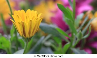 Solitary African Daisy flower bud in colorful flowerbed