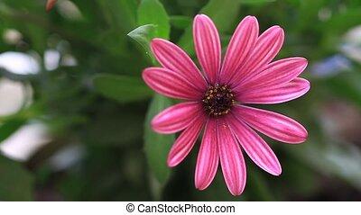 Osteospermum daisy or cape rain daisy, Summertime flowers....
