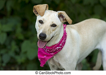 Happy Dog - Happy dog is white with pink bandana looking at...