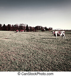 Pasture - Cows Grazing on Green Pasture in Switzerland,...