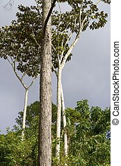 Escambray - Forest in Escambray Mounatins, Villa Clara...