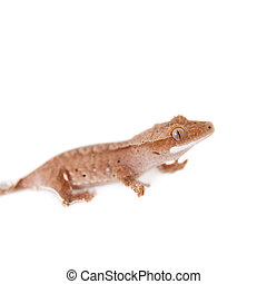 New Caledonian crested gecko on white - New Caledonian...