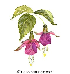 Branch of pink fuchsia on white background. Watercolor...