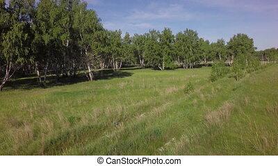Summer green birch forest West Siberian Plain Omsk region
