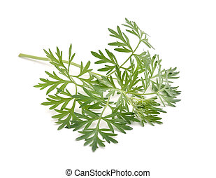Artemisia absinthium isolated on white background.