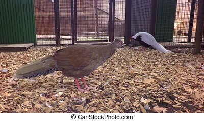 Female and male silver pheasant - Female and male of silver...