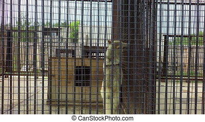 Wolf turns in cage, and lynx in the neighborhood. - Wolf...