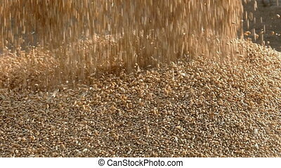 Agriculture, pouring wheat - Wheat harvest, closeup of crop...
