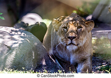 A Beautiful Female African Lioness (Panthera leo). Eyes are...