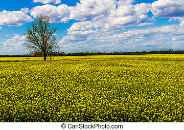Yellow Field of Canola - Wide Angle Shot of a Field of...