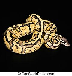 femmina, Palla, Python., Lucciola, Morph, o, mutazione,