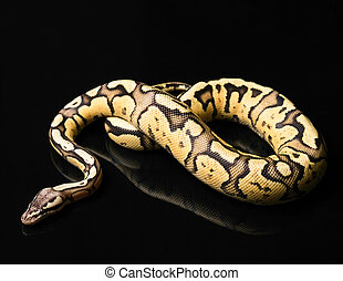 Female Ball Python. Firefly Morph or Mutation - Female Ball...